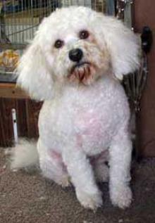 Bichon after his clip
